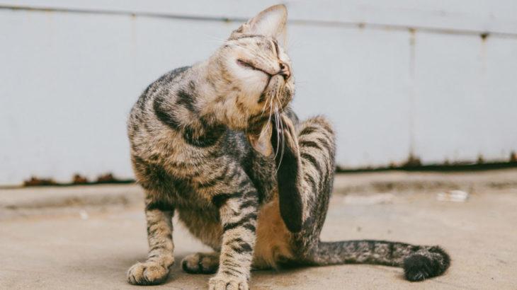 cat scratching fleas