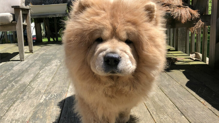 Happy Tails: Cookie the Chow Chow