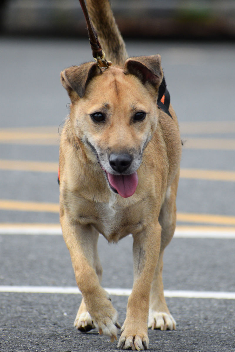 Adoptable Dog Ross